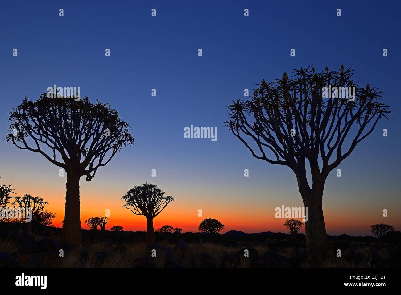Koecherbaum oder Quivertree (Afrikaans: Kokerboom, Aloe dichotoma) bei Sonnenuntergang , Keetmanshoop, Namibia, Afrika - Stock Image