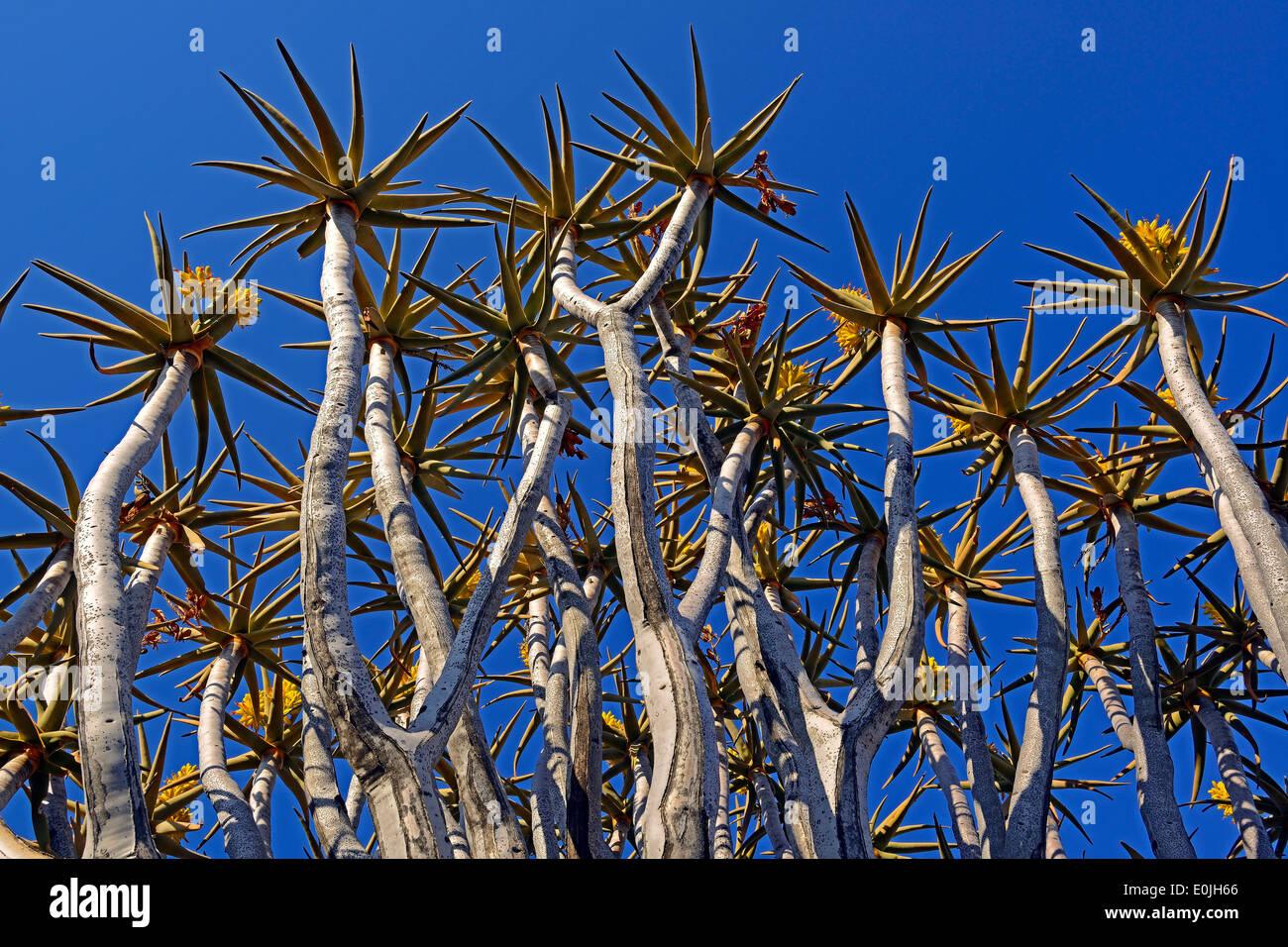 Koecherbaum oder Quivertree (Afrikaans: Kokerboom, Aloe dichotoma) bei Sonnenaufgang , Keetmanshoop, Namibia, Afrika - Stock Image