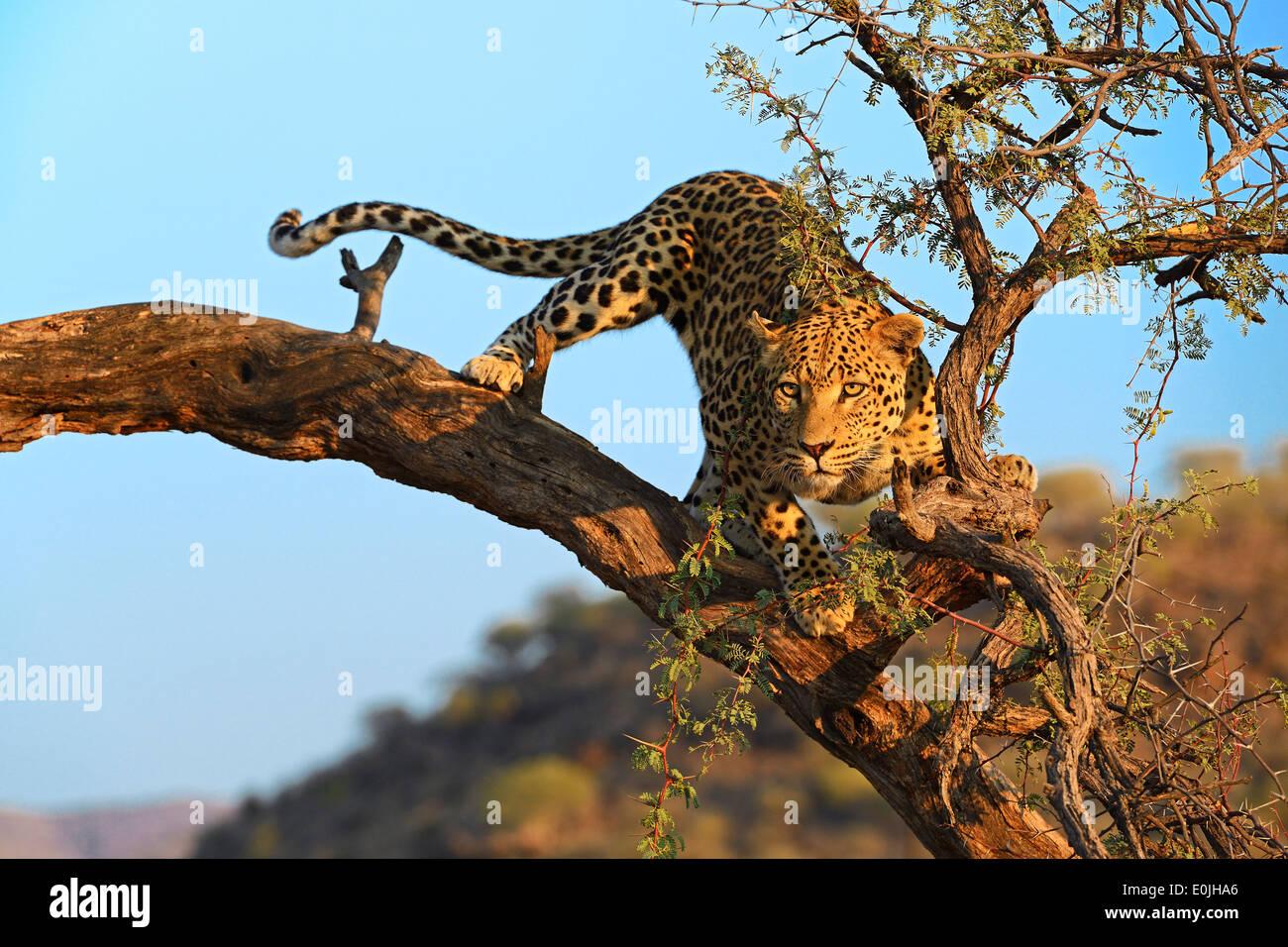 Leopard (Panthera pardus) haelt Ausschau auf einem Baum im ersten Morgenlicht , Khomas Region, Namibia, Afrika - Stock Image