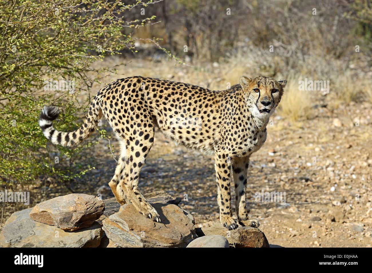 Gepard, Namibia, Afrika, Stock Photo