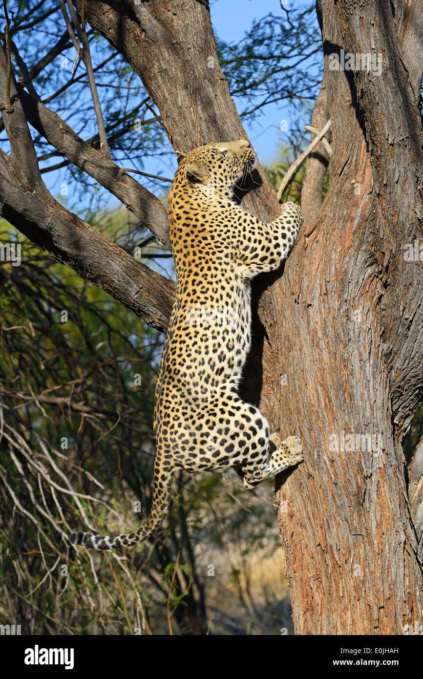 Leopard (Panthera pardus) erklimmt Baum , Khomas Region, Namibia, Afrika - Stock Image