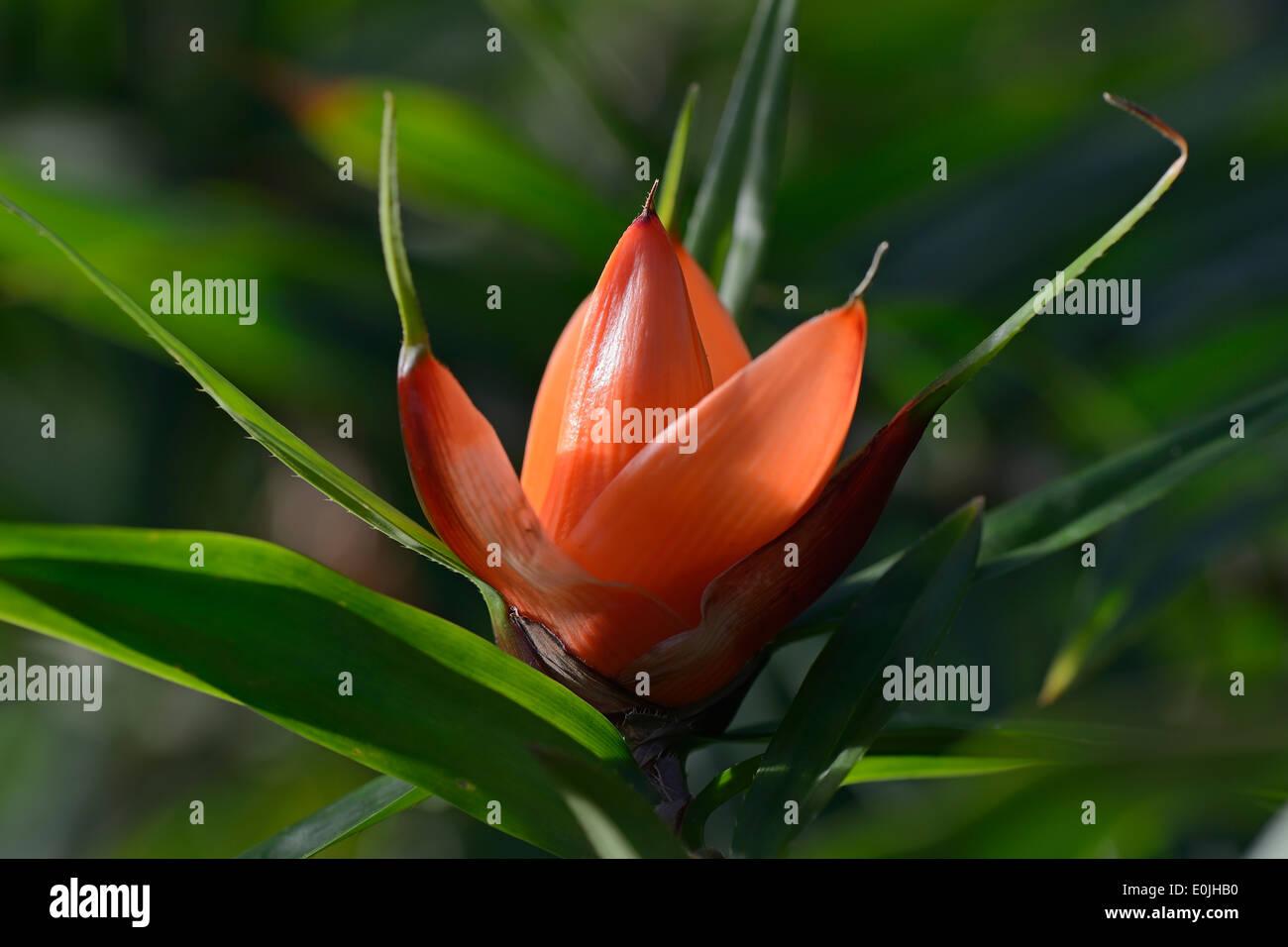 Blüte vom Freycinetia luzonensis, Schraubenbaumgewächs, Vorkommen Südostasien - Stock Image