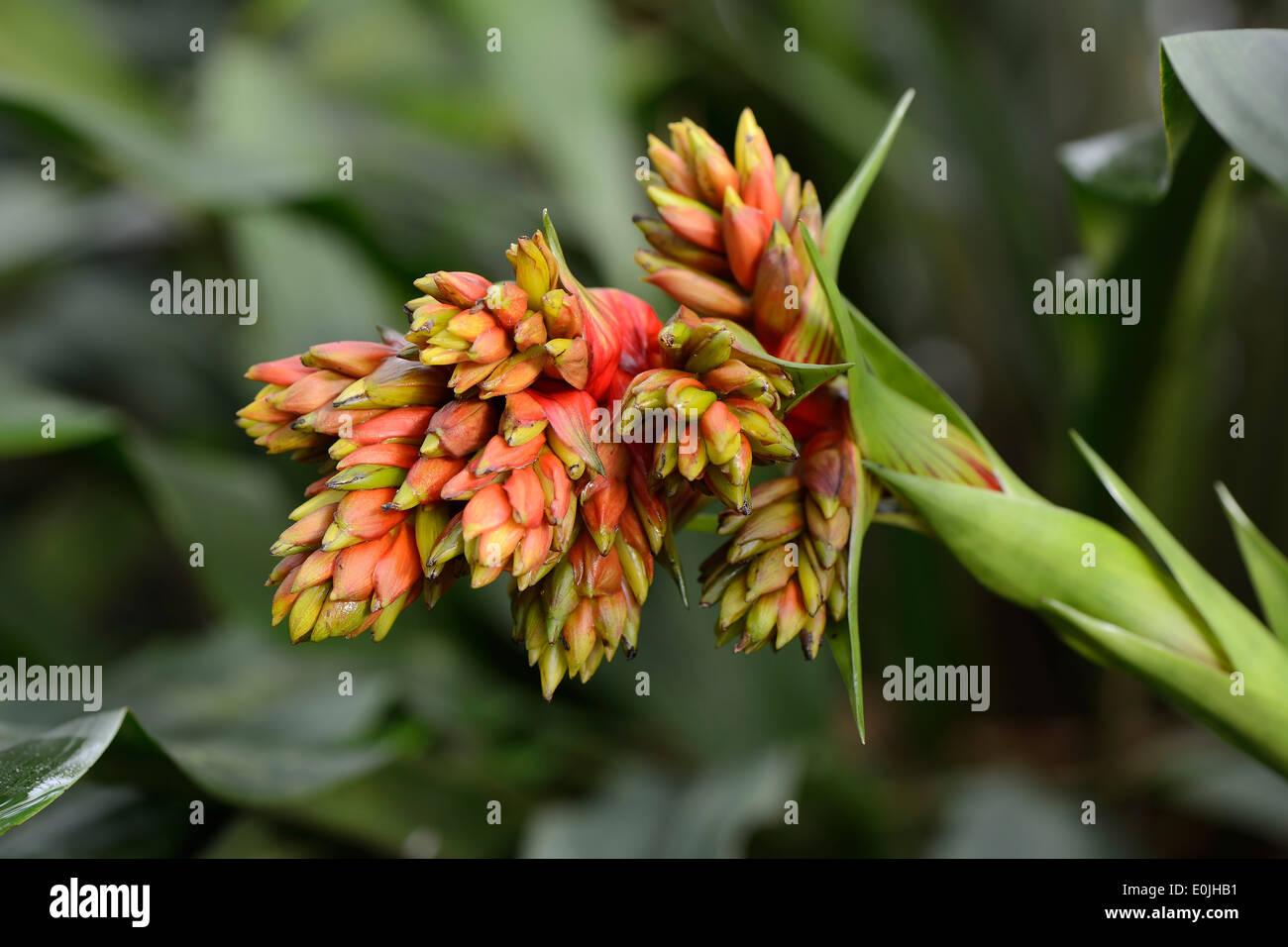 Rotgelbe Guzmanie (Guzmania rubrolutea), Vorkommen Ecuador, Südamerika - Stock Image