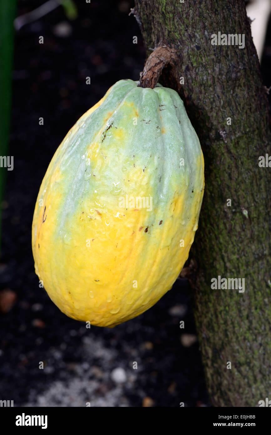Kakaofrucht an einem Kakaobaum (Theobroma cacao) , Vorkommen Südamerika - Stock Image