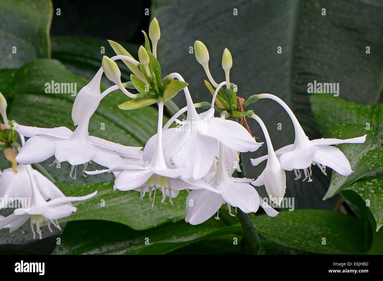 Herzkelch oder Amazonaslilie ( Eucharis amazonica), Vorkommen Südamerika - Stock Image