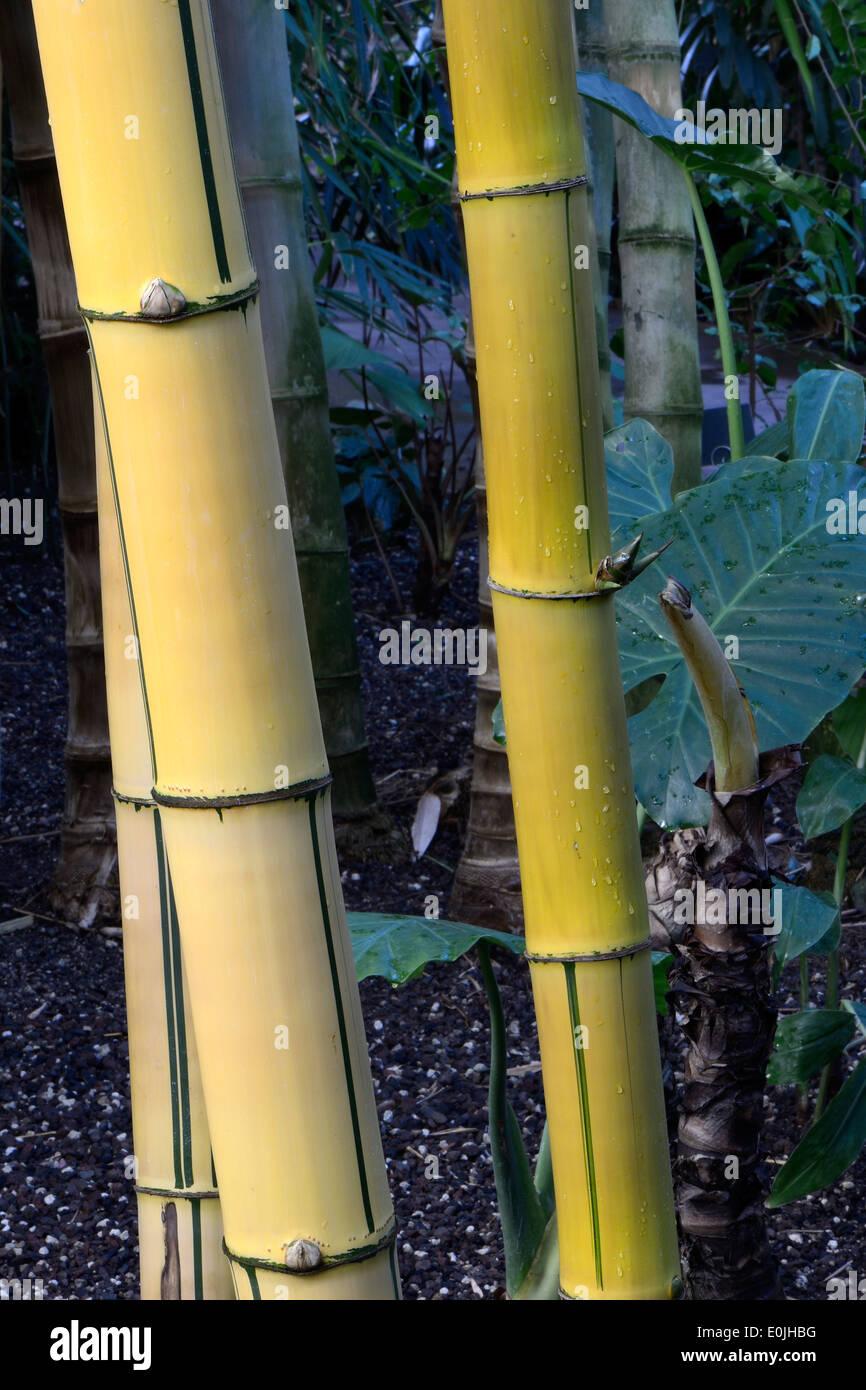 goldener Bambus (Bambusa vulgaris) Vorkommen Südostasien - Stock Image