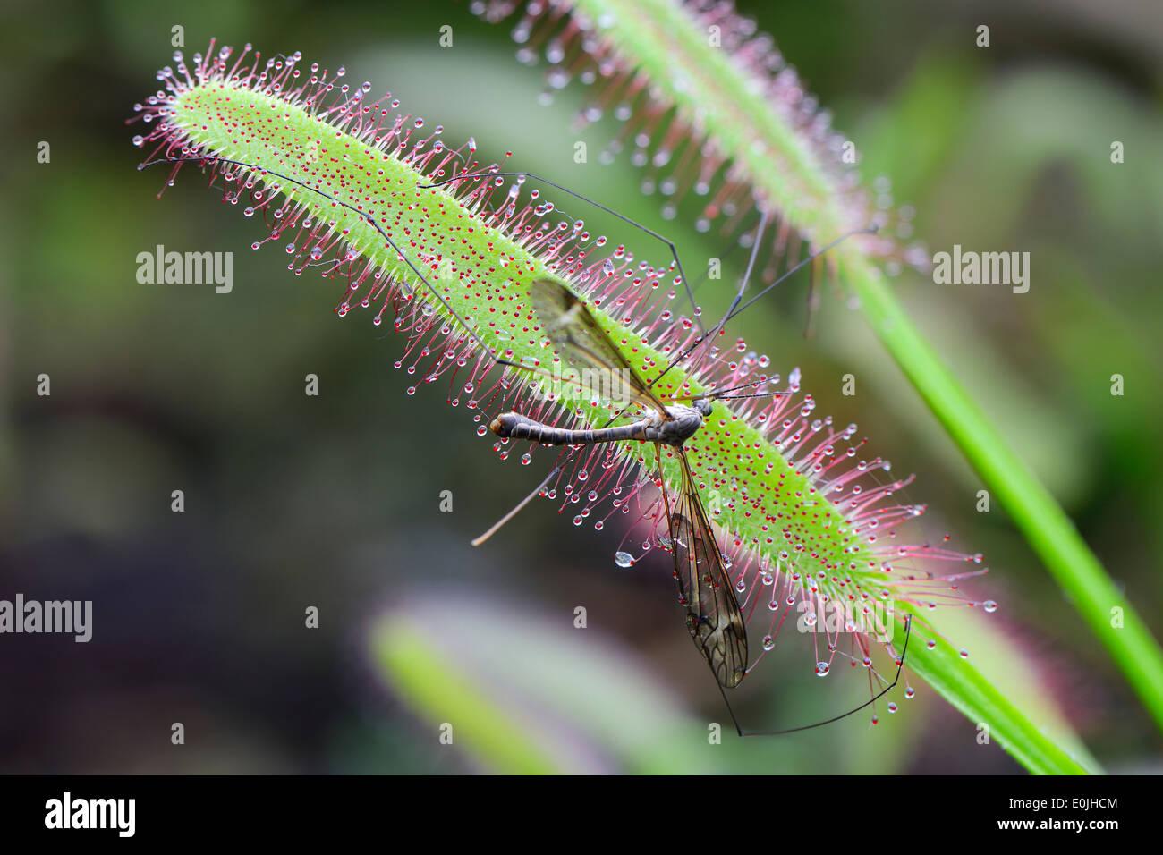 Fliege ist gefangen vom Kap-Sonnentau ( Drosera capensis), Vorkommen Südafrika - Stock Image
