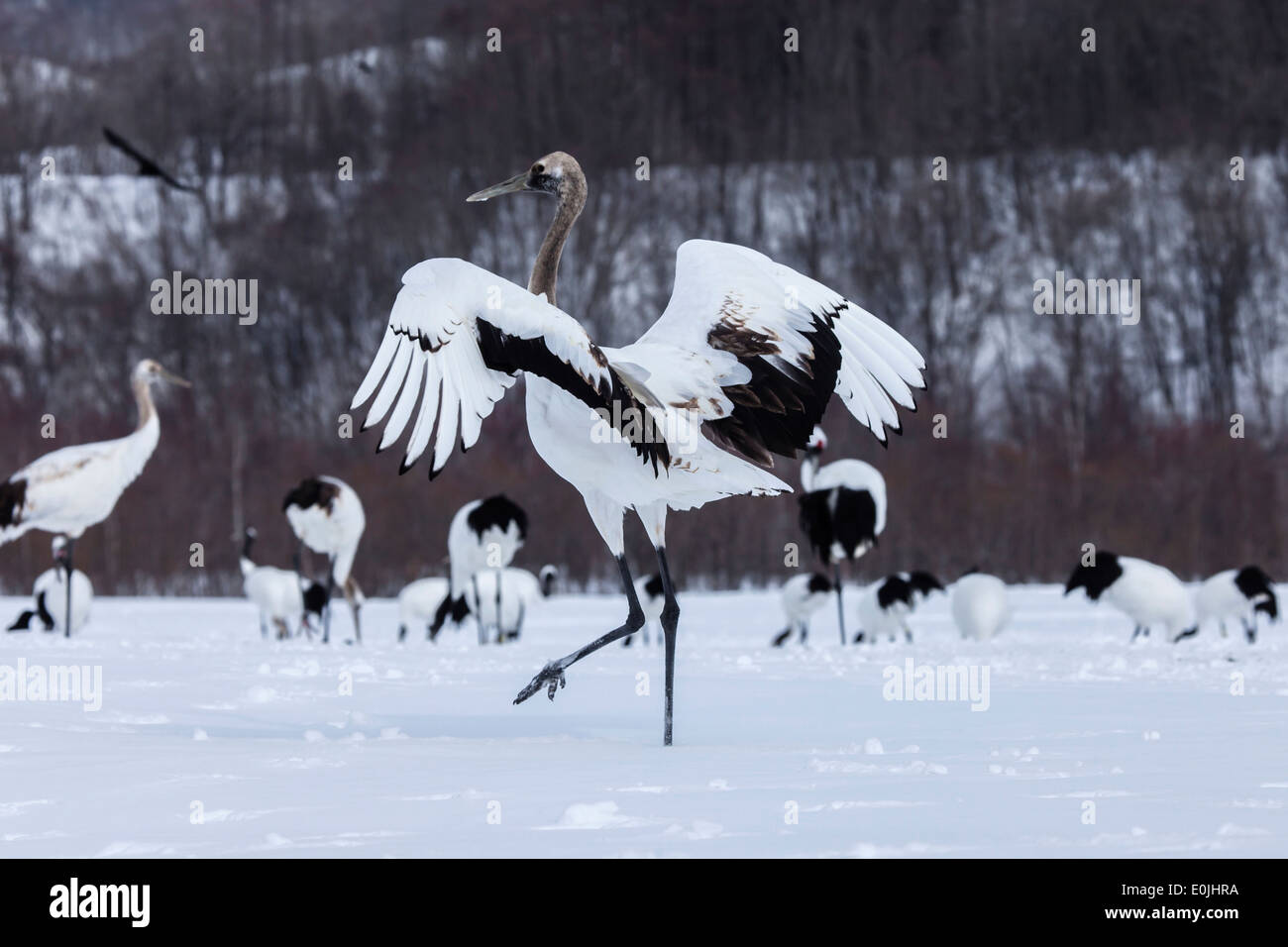 Red crowned cranes - Stock Image