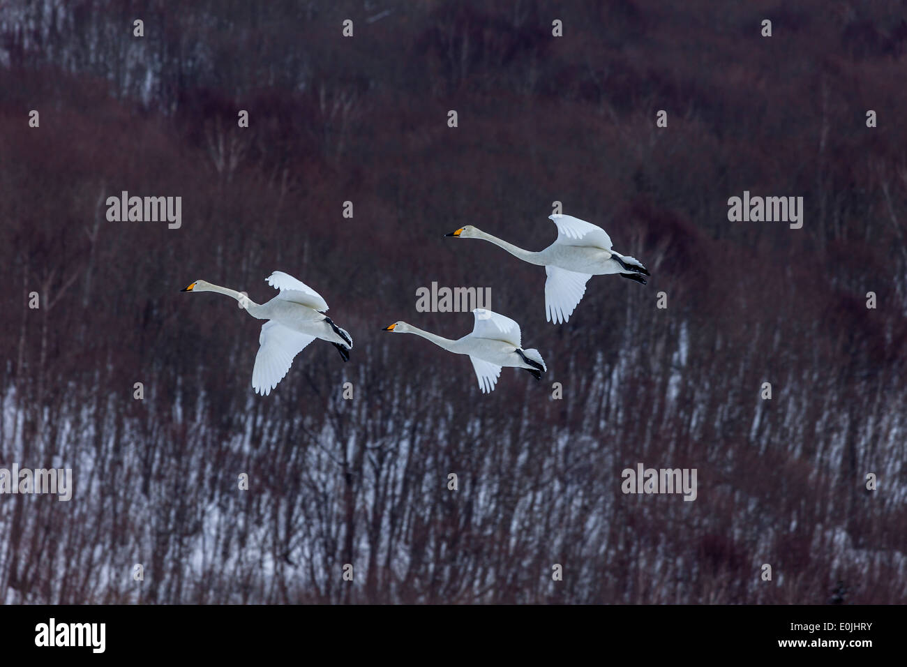 Red crowned cranes flying - Stock Image