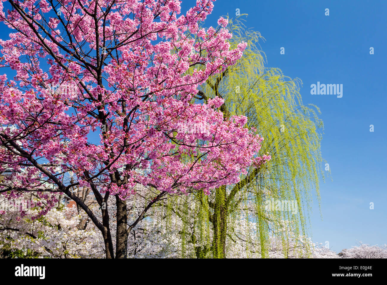 Willow tree flower stock photos willow tree flower stock images cherry blossoms and willow tree stock image mightylinksfo