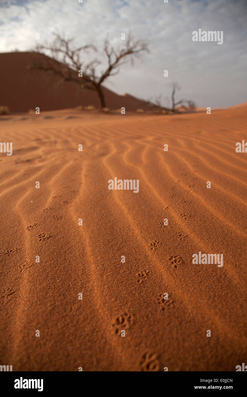 animal tracks in the sand of the Sossusvlei dunes, Namib Naukluft Park, Namibia, Africa - Stock Image
