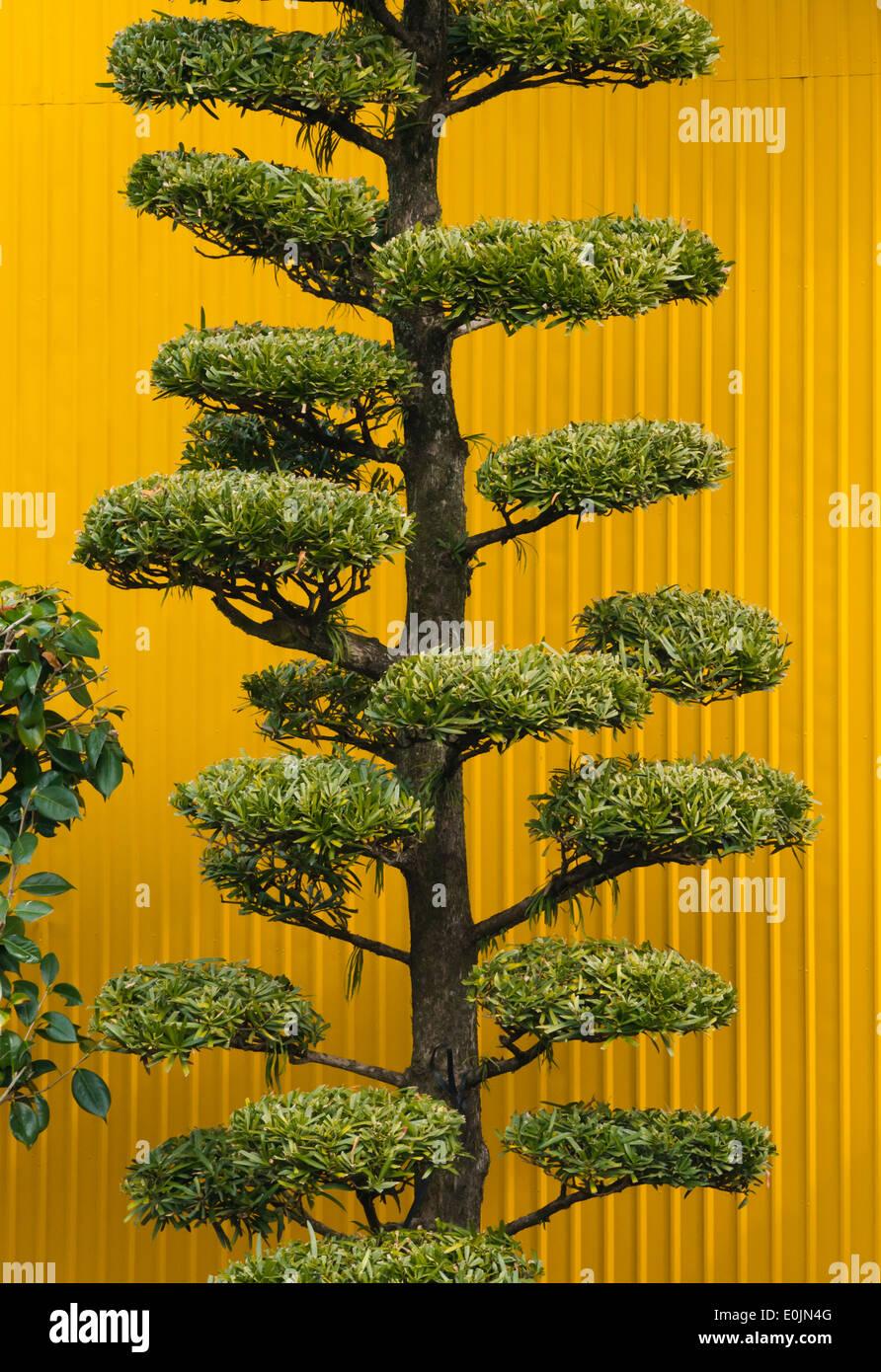House with well trimmed tree, Aso, Kumamoto, Kyushu, Japan - Stock Image