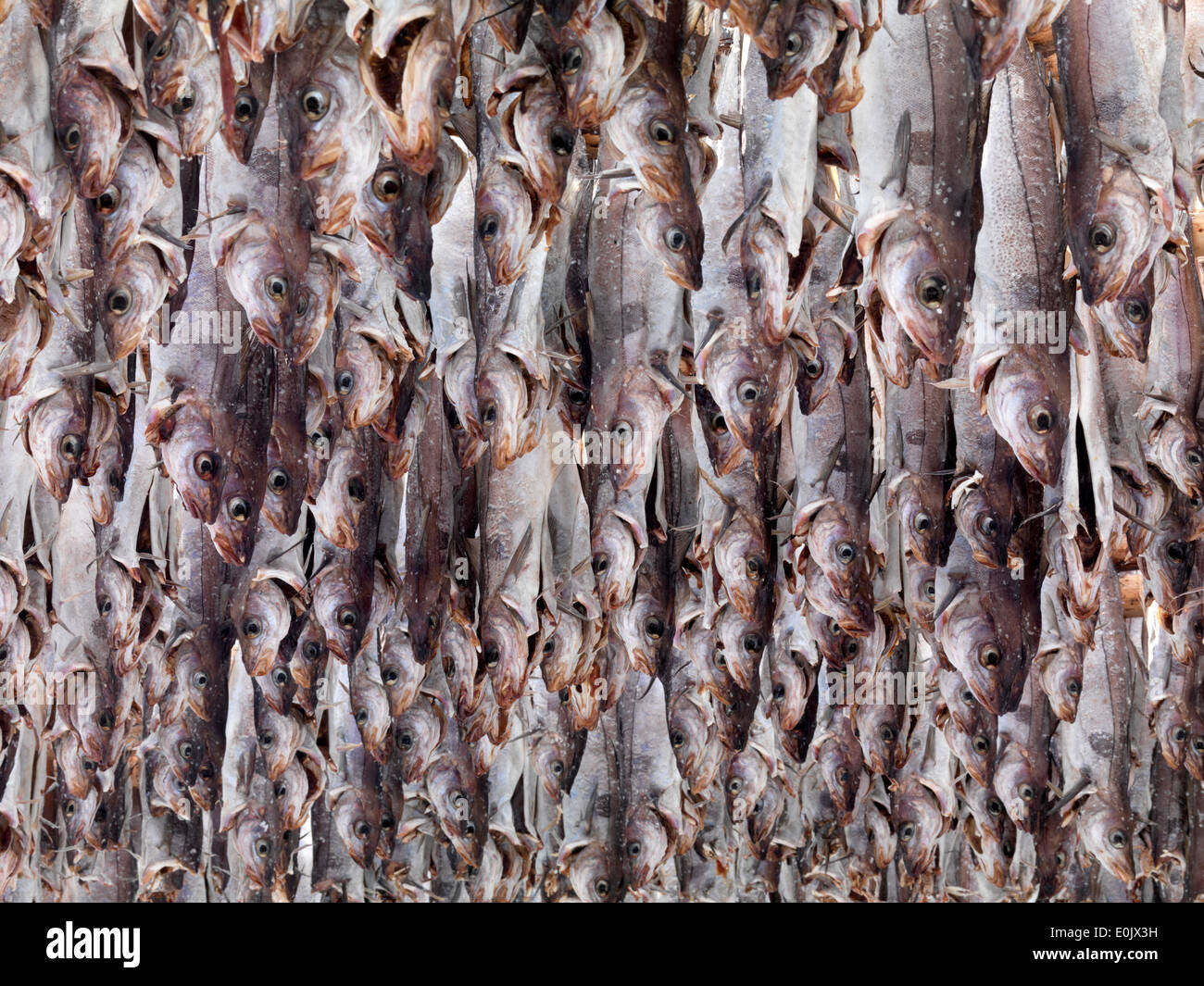 Pollack being dried with heads as stockfish, Lofoten, Norway (Pollachius pollachius) - Stock Image