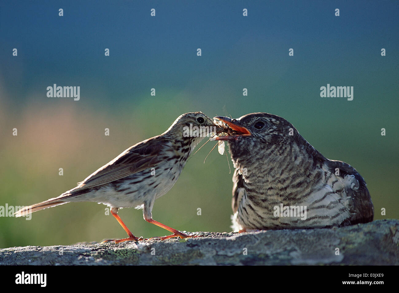 Cuckoo chick being fed by 'parent', meadow pipit, Oppland, Norway (Cuculus canorus), (Anthus pratensis) - Stock Image