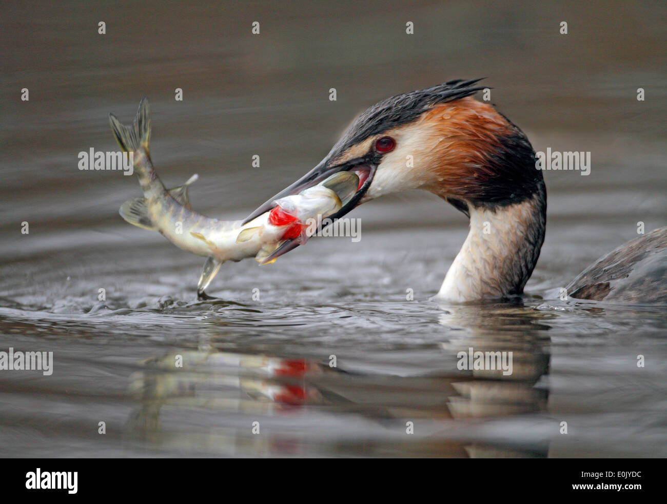Crested grebe with fish it has caught, Oslo, Norway (Podiceps cristatus) - Stock Image