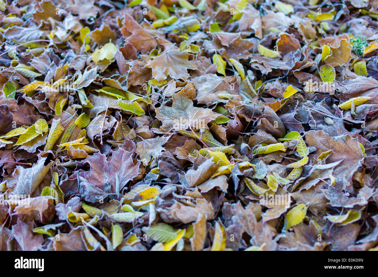 Frosty leaves on forest floor in autumn including beech and sycamore leaf in United Kingdom Stock Photo