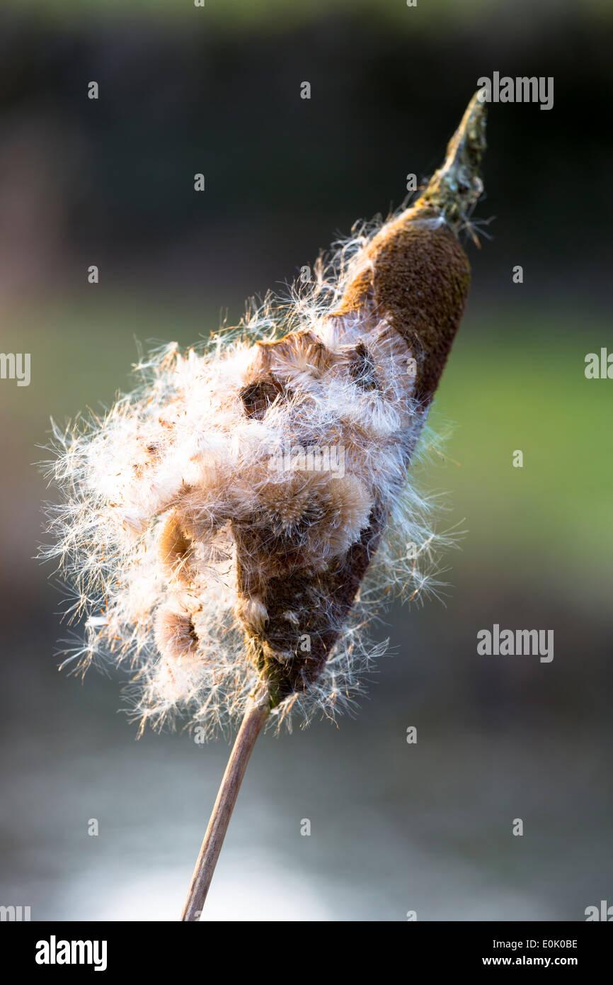 Seed dispersal of bullrush a sedge grass, Cyperaceae, in wetland in United Kingdom - Stock Image