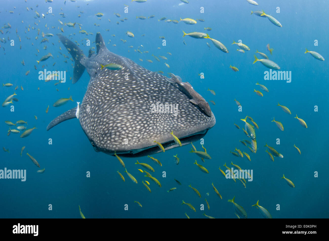 Small Shark Stock Photos Amp Small Shark Stock Images Alamy