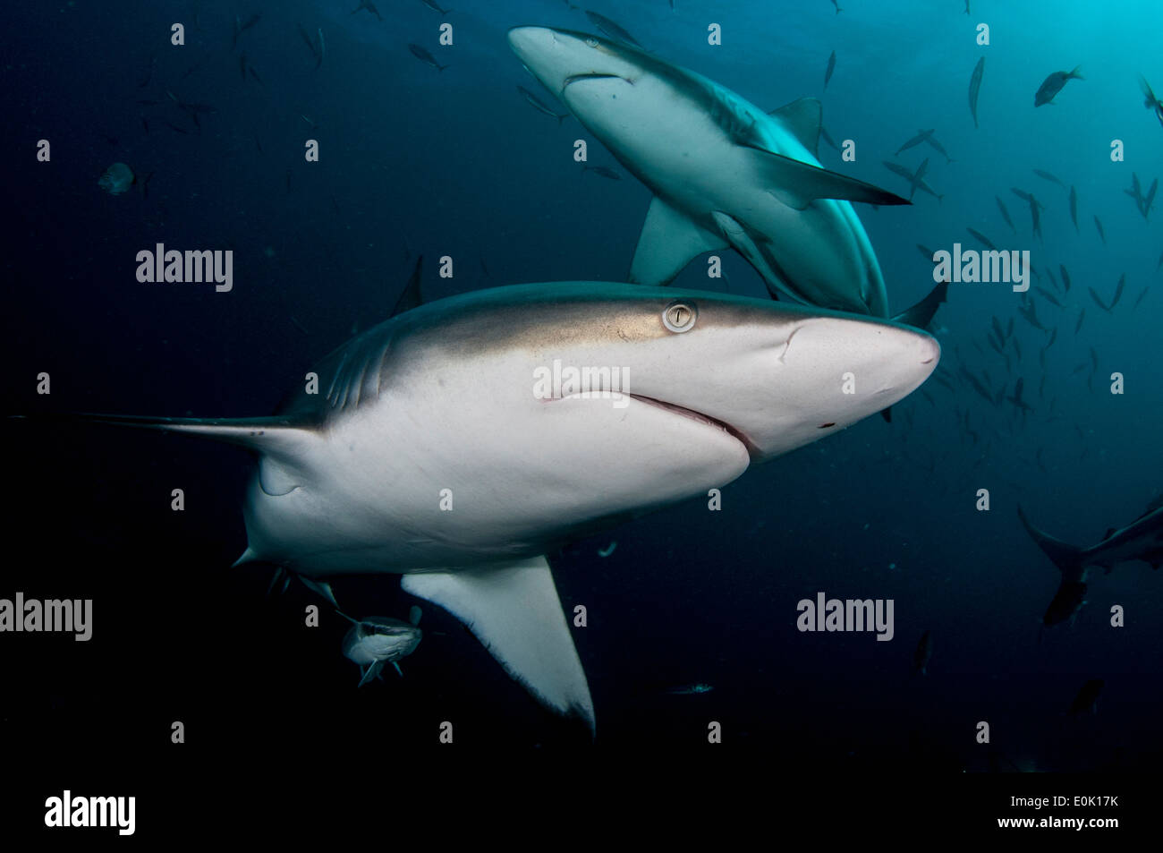 Oceanic Blacktip Sharks, Aliwal Shoal, South Africa (Carcharhinus limbatus) Stock Photo