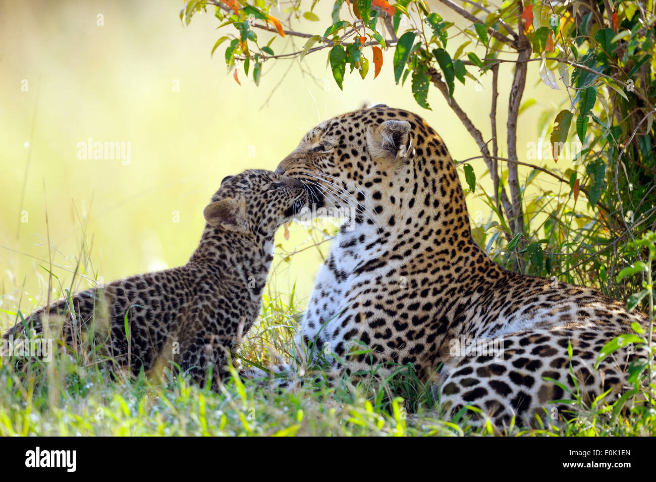 leopard baby stock photos  u0026 leopard baby stock images