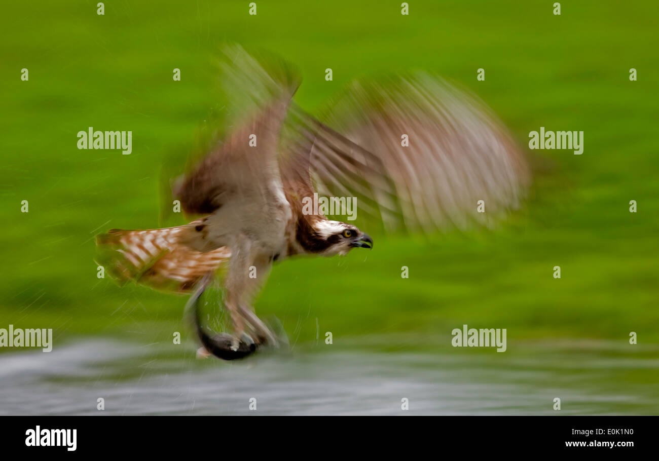 Osprey fishing for salmon trout, Finland (Pandion haliaetus) - Stock Image