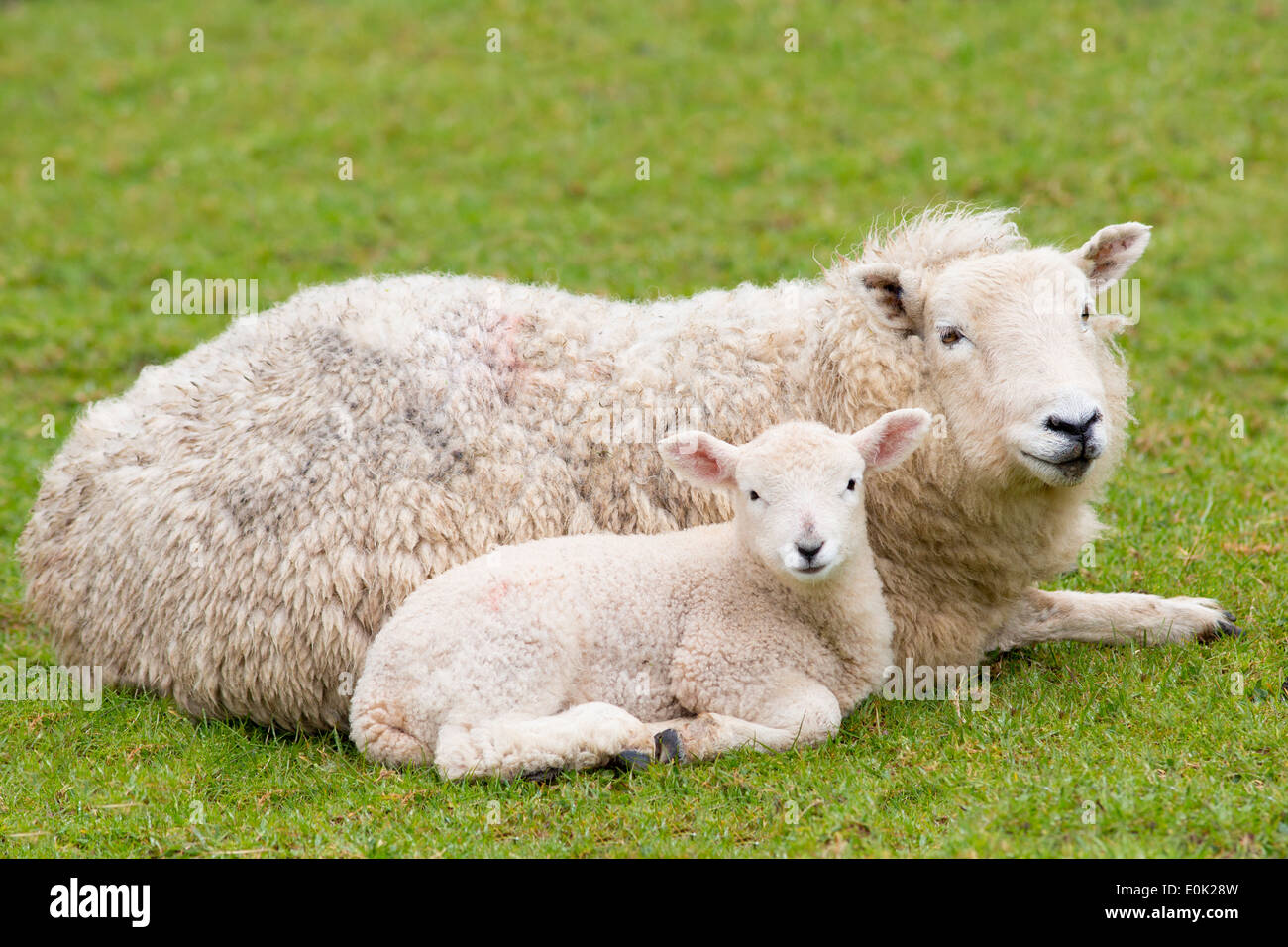 Sheep ewe and lamb in Exmoor National Park, Somerset, United Kingdom - Stock Image