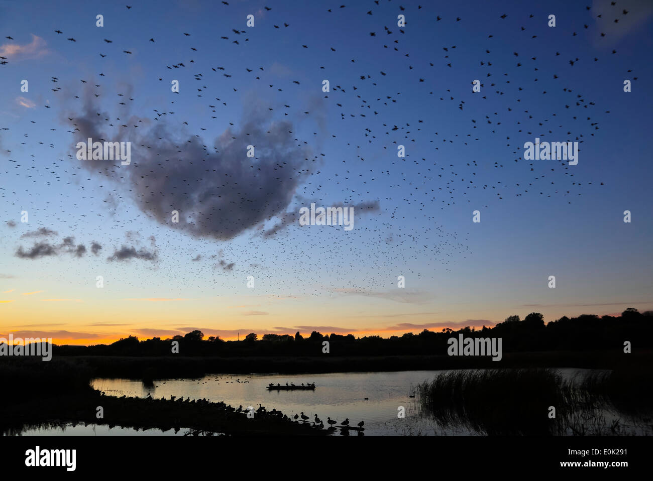 9484. Starling murmuration, Grove Nature reserve, Kent - Stock Image