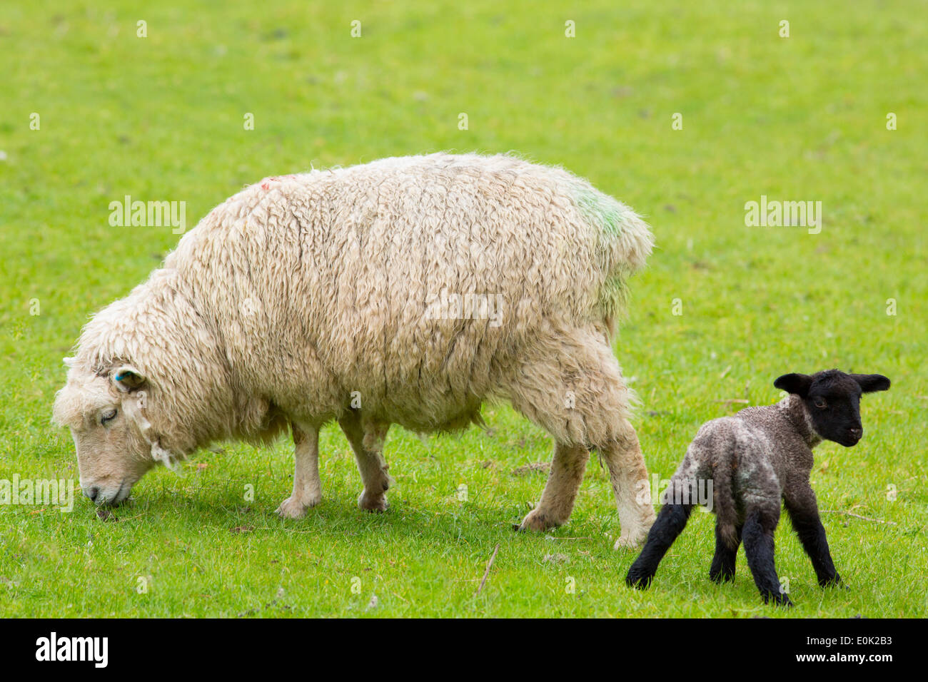 Sheep ewe and black lamb in Exmoor National Park, Somerset, United Kingdom - Stock Image