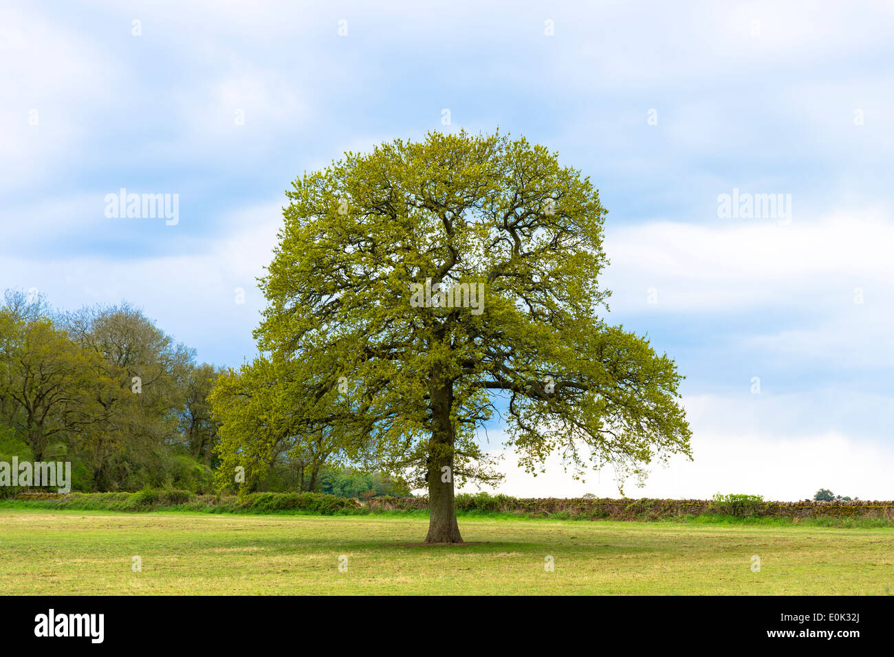 English Oak tree, Quercus robur, as Spring turns to Summer in Swinbrook in the Cotswolds, Oxfordshire, UK - Stock Image
