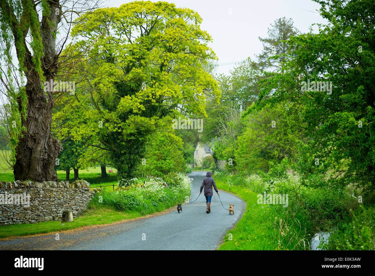 Woman walking terrier dogs on rainy day, UK - Stock Image