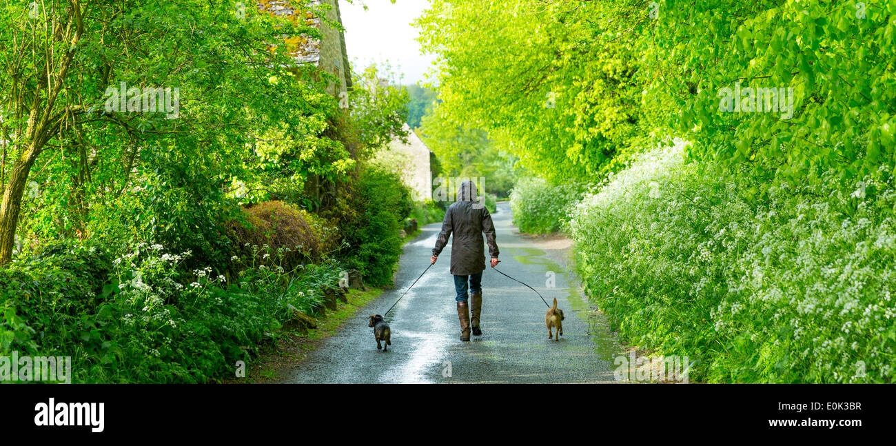 Woman walking dogs on rainy day in The Cotswolds, UK - Stock Image