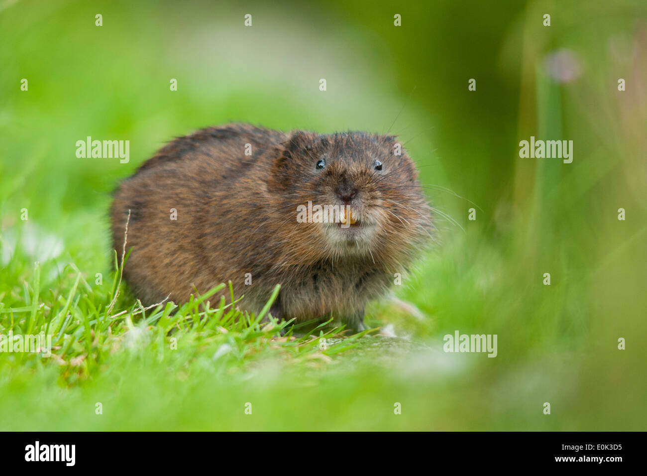 Water vole showing teeth, Cromford Canal, Derbyshire. (Arvicola amphibius) - Stock Image