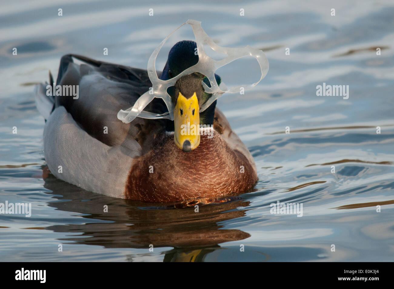 Mallard duck entangled in plastic, Richmond Park, London. (Anas platyrhynchos) - Stock Image