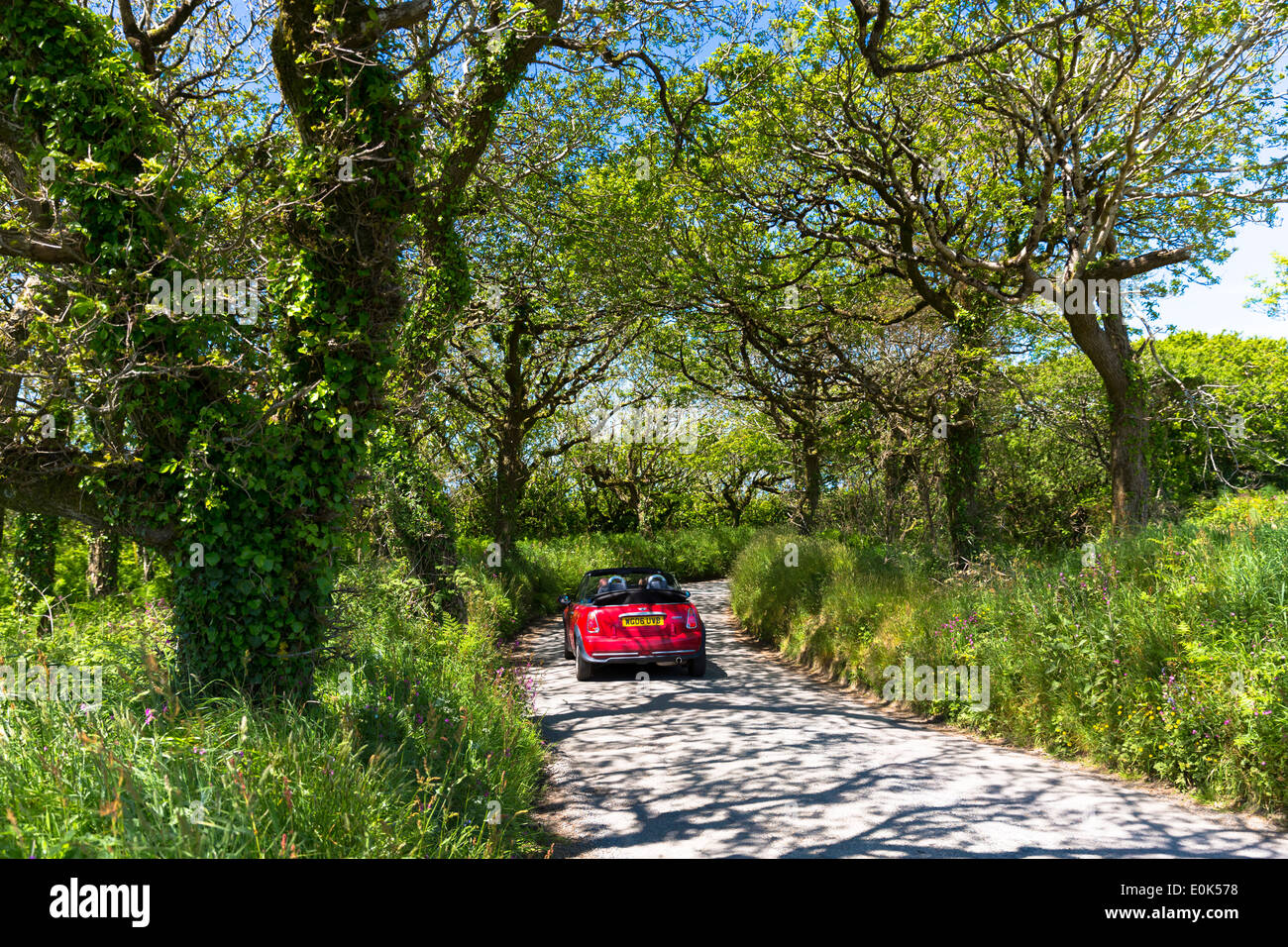 Driving a Mini Cooper convertible car along country lane on touring holiday of Devon and Cornwall in Southern England, UK - Stock Image
