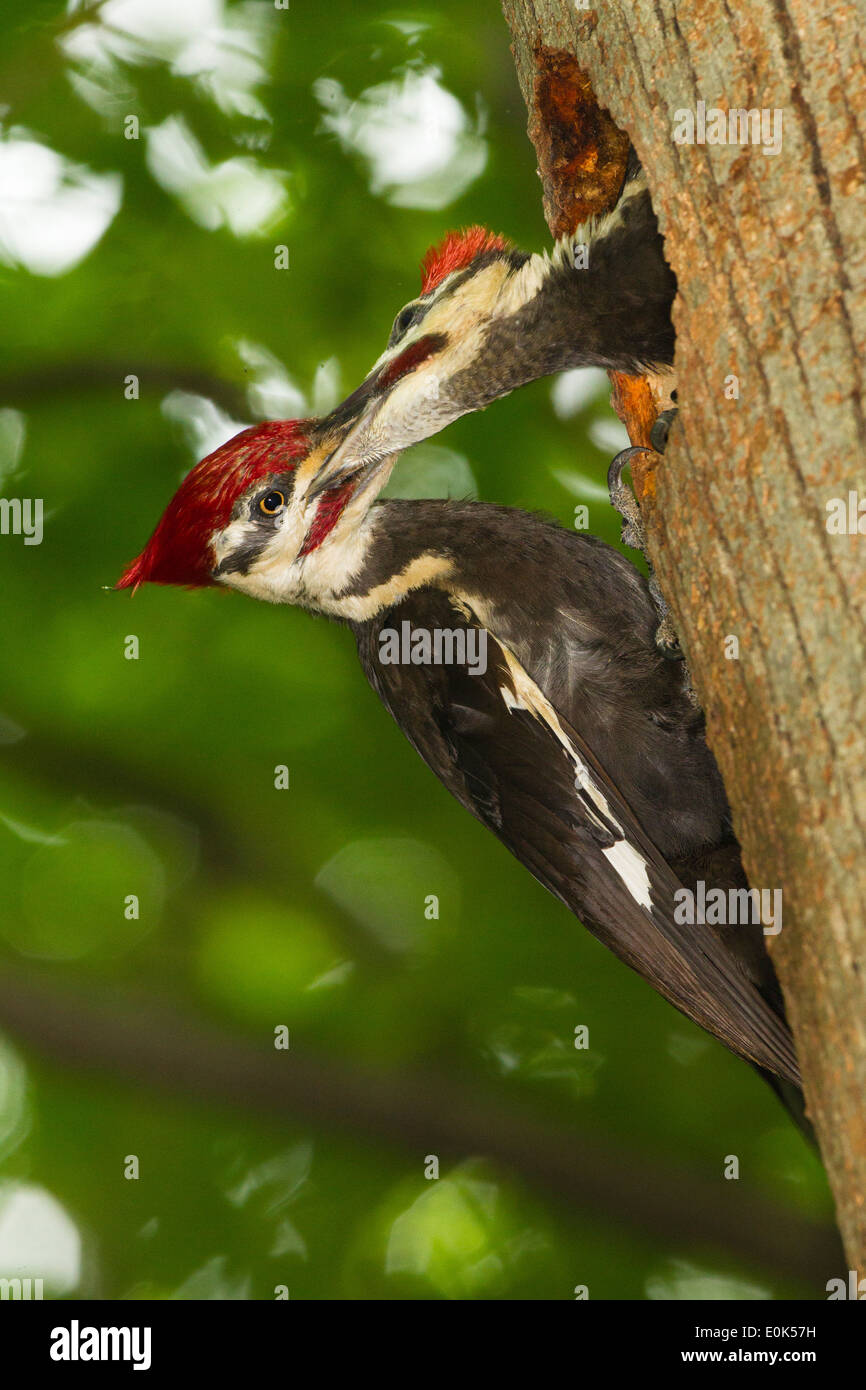 Adult Pileated Woodpecker feeding young just days from fledging, at nest hole, Pennsylvania, North America (Dryocopus pileatus) - Stock Image