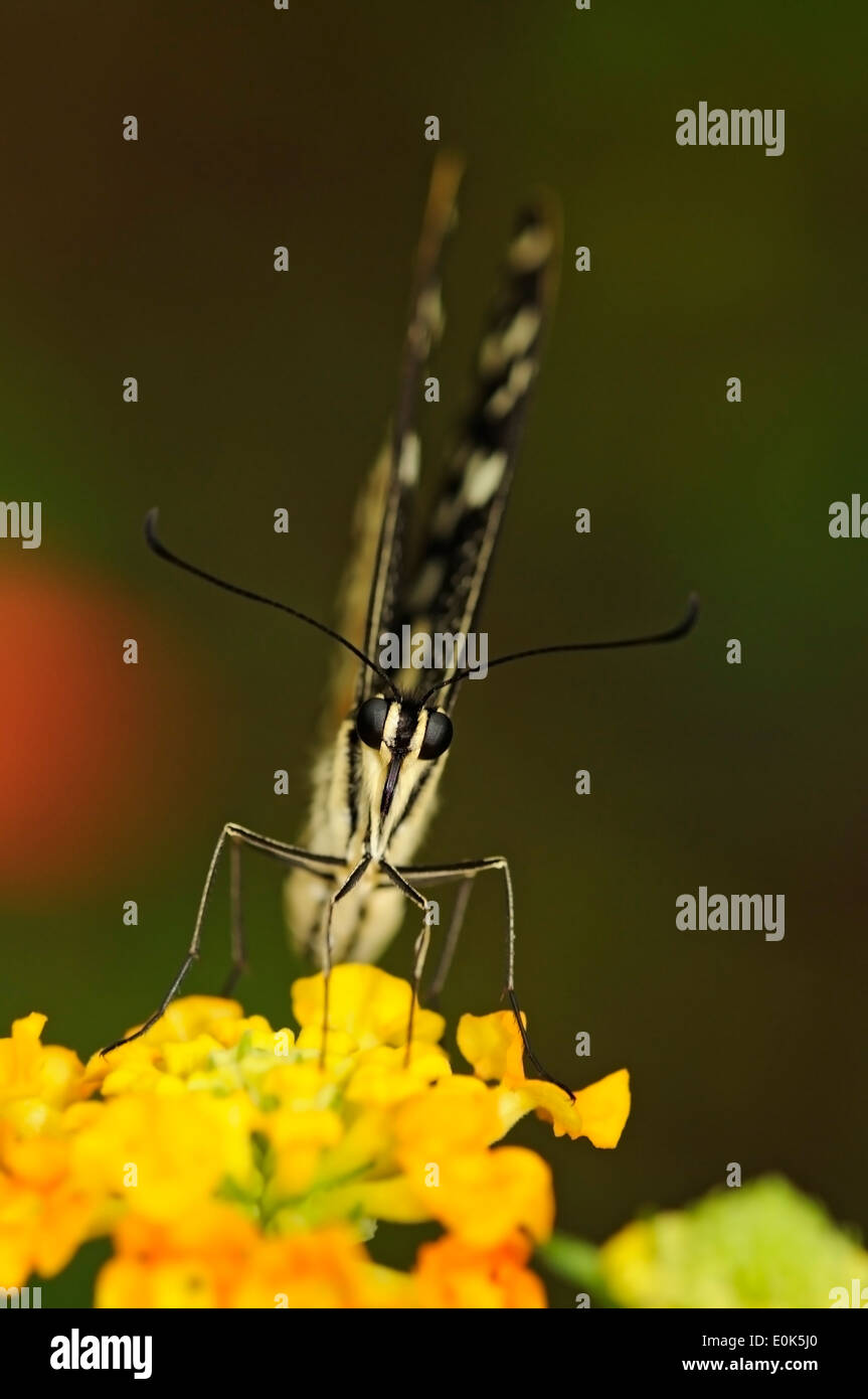Vertical portrait of common lime butterfly, Papilio demoleus, perched on a yellow flower. Stock Photo