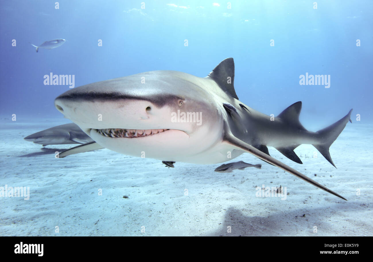 Caribbean reef shark, Bahamas. (Carcharhinus perezi) Stock Photo