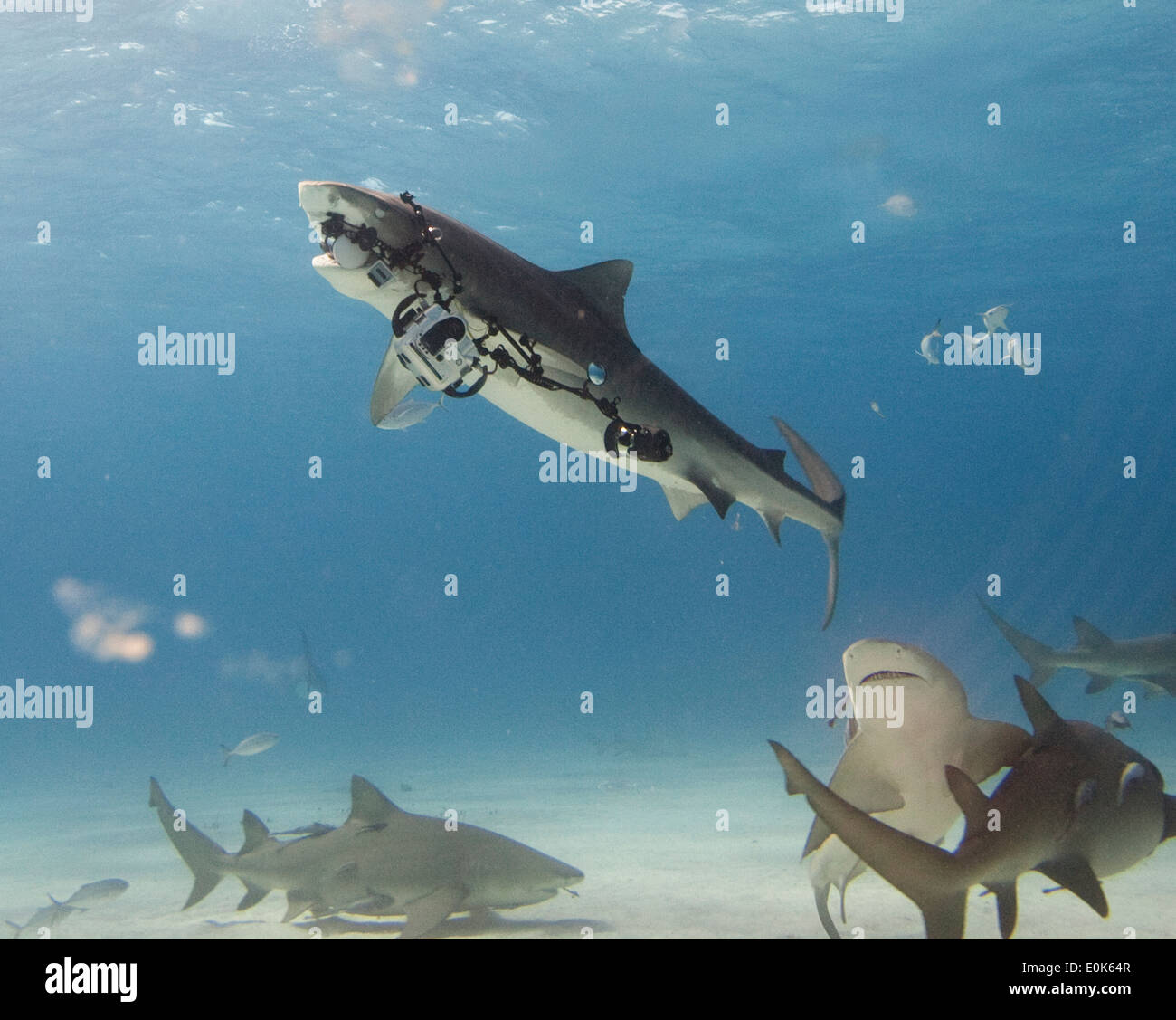 Tiger shark carrying away photographer's equipment (Canon 1dm3), Bahamas. (Galeocerdo cuvier) - Stock Image
