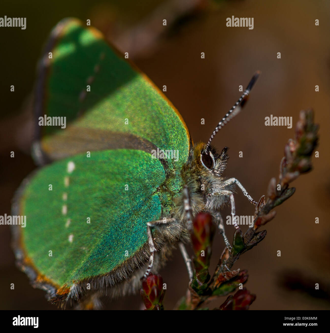 green hairstreak butterfly, Wharfedale, Yorkshire, UK - Stock Image