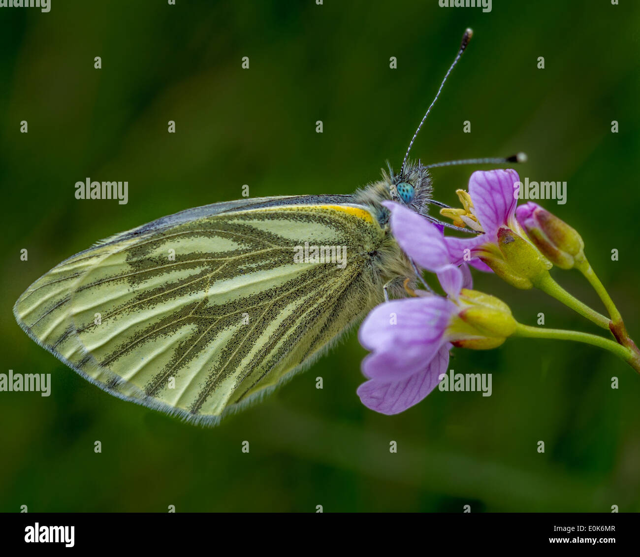 Green veined white butterfly Pieris napi, Yorkshire, UK - Stock Image