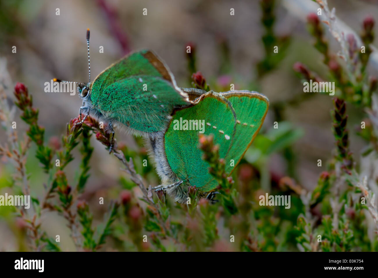 Mating green hairstreak butterfly, Wharfedale, Yorkshire, UK - Stock Image
