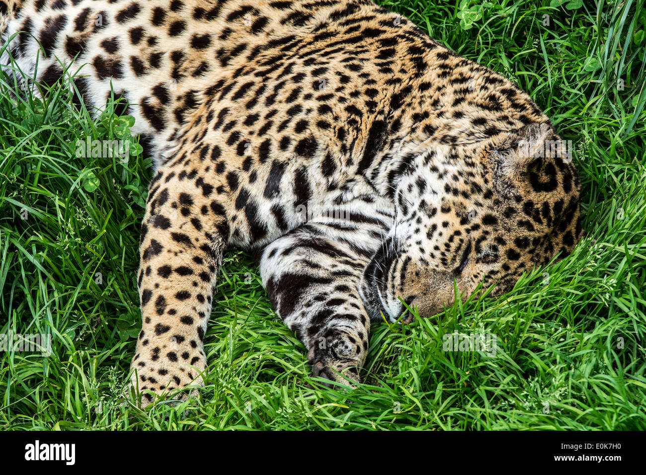 Panther / jaguar (Panthera onca) sleeping in the grass, native to Central and South America - Stock Image