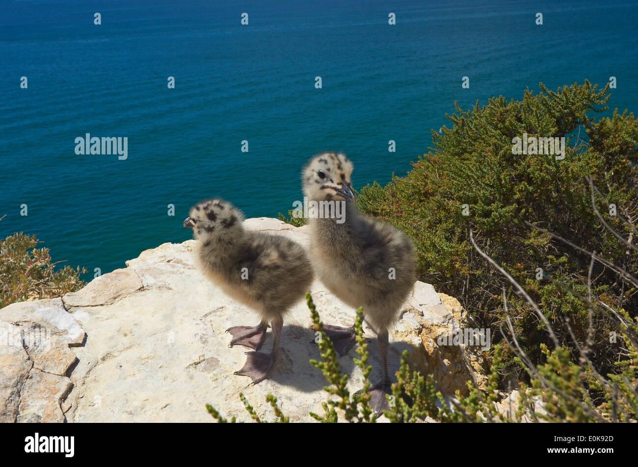 Yellow-Legged Gull (Larus cachinnans), Algar Seco, Carvoeiro, Lagoa, Algarve, Portugal Stock Photo