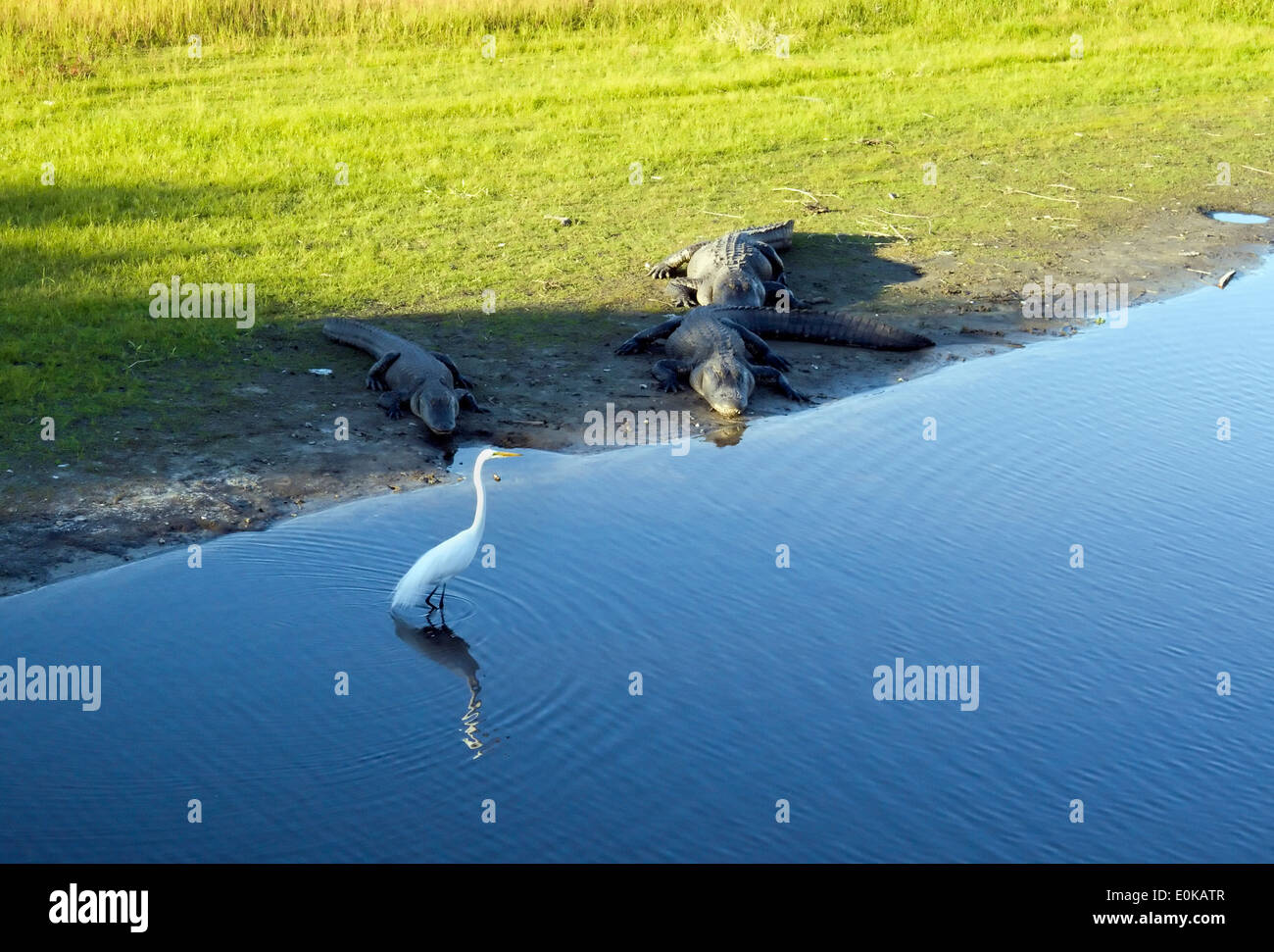 It's risky business for the egret to wander so close to an American Alligator. - Stock Image