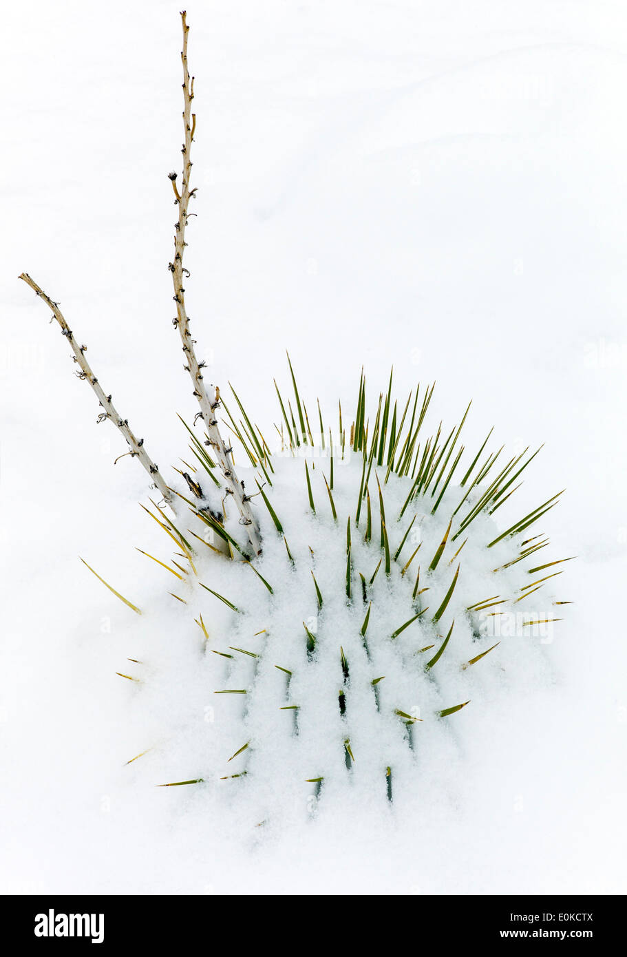 Yucca plant, springtime snow in the Rocky Mountains near Salida, Colorado, USA Stock Photo