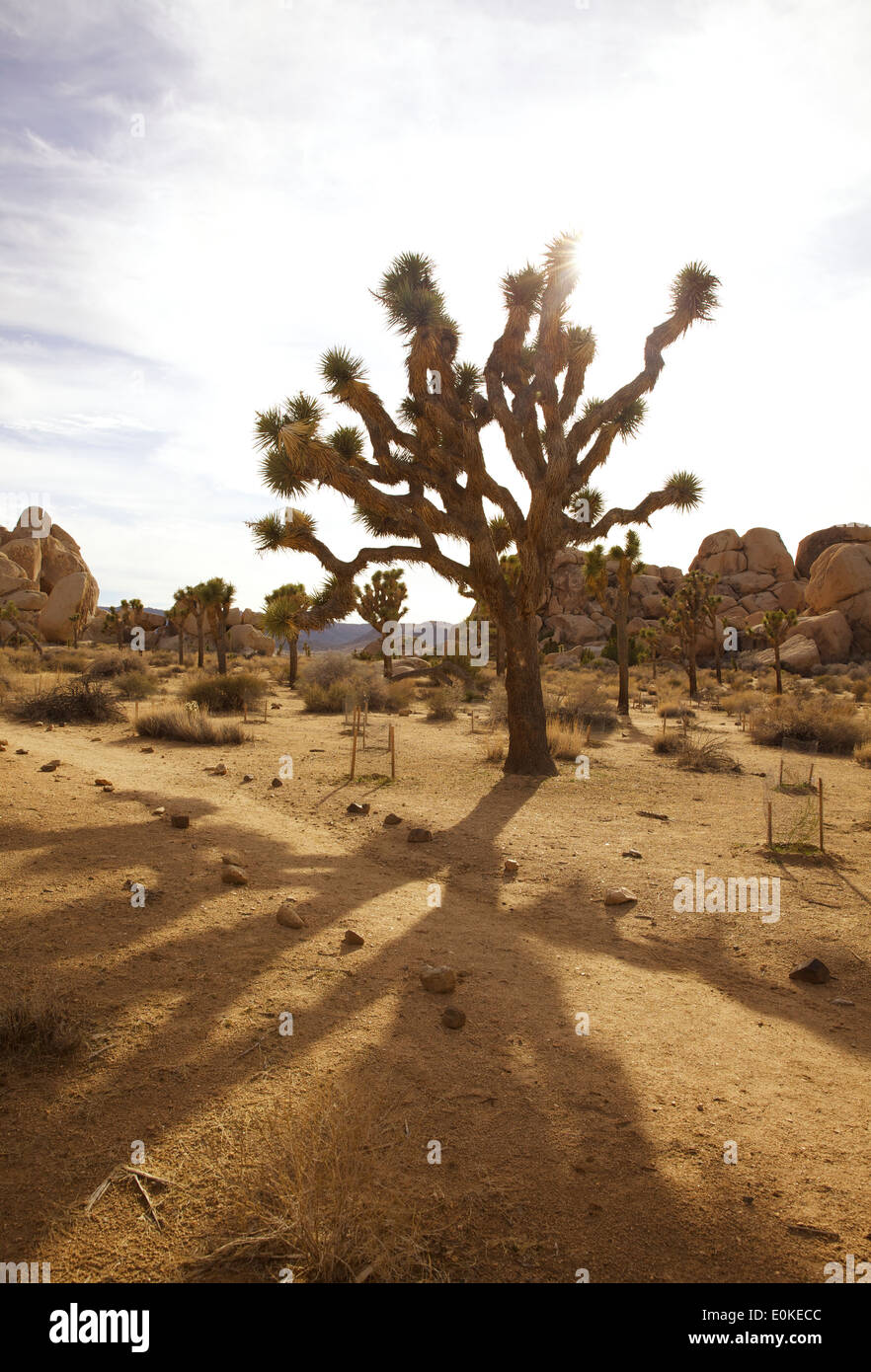 The sun shines in the distance behind a group of back lit Joshua Trees in Joshua Tree National Park in Southern California, USA - Stock Image