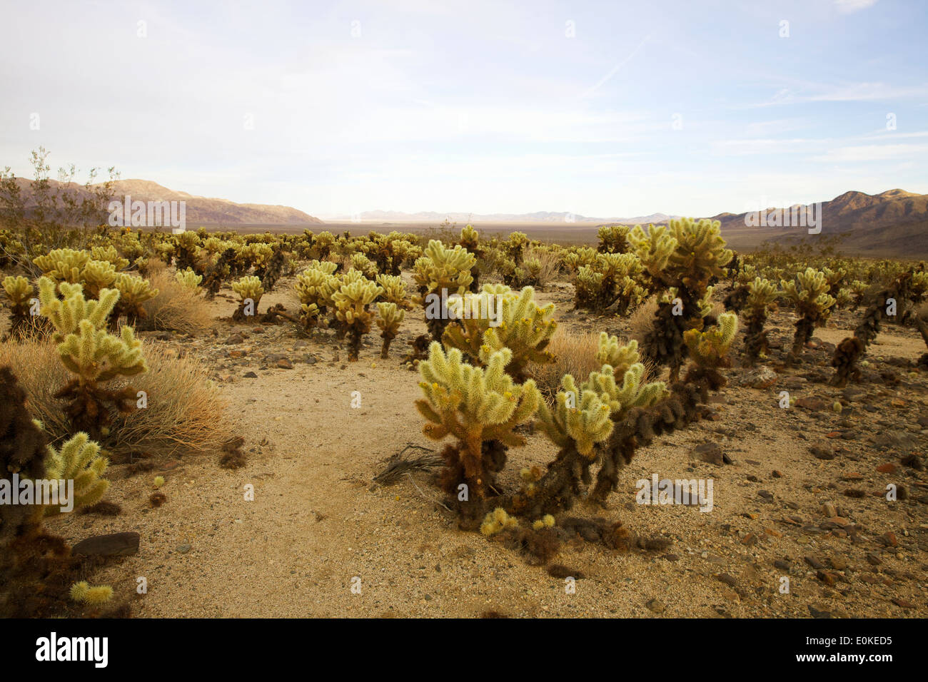 Cholla cactus in Joshua Tree National Park in Southern California, USA - Stock Image