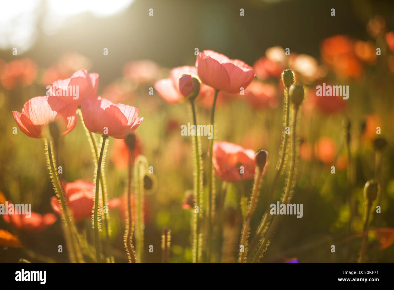 Red poppies grow in a field bathed in afternoon light. Stock Photo