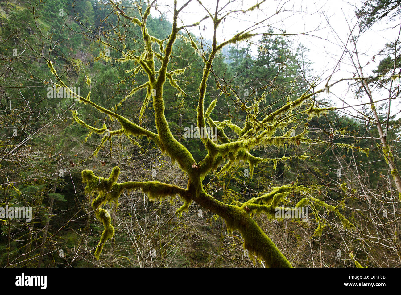 A moss covered branch on the trail to Wachlella Falls in Multnomah County, Oregon. - Stock Image