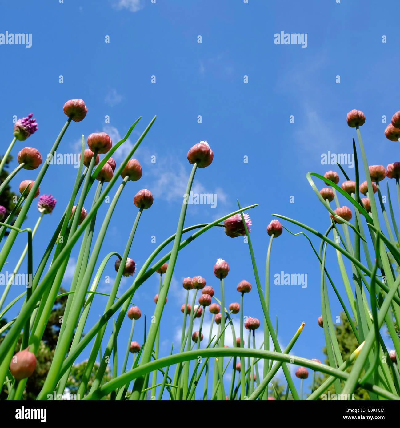 Allium flowers opening against sky - Stock Image